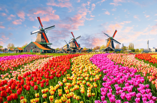 tulips and WIndmills in Amsterdam holland
